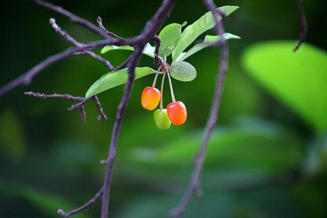 Nature, Leaf, Wood, Fruit, Plants, Cherries, Bodhi