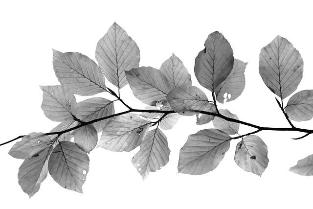 Leafs, Black And White, Beech, Isolated