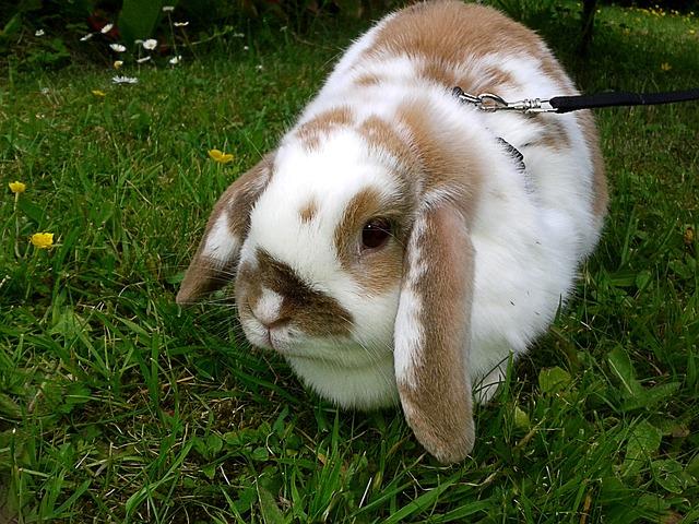 Rabbit, Leash, Brown White, Freewheel, Go Walkies
