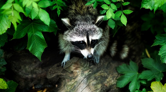 Raccoon, Animal, Wildlife, Nature, Outdoors, Leaves