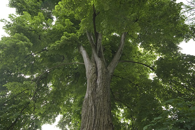 Tree, Linden, Foliage, Trunk, Leaves, Branches