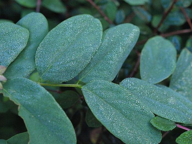 Snow Berry, Morgentau, Drip, Dew, Leaves, Water