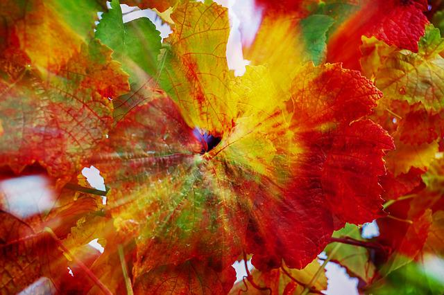 Vine Leaves, Double Exposure, Leaves, Fall Color