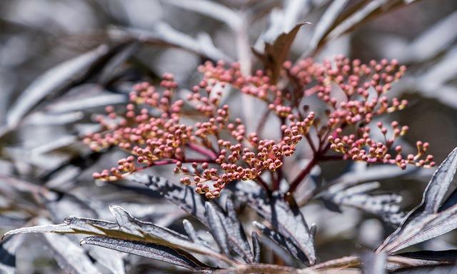 Elder, Slit-leafed Elderberry, Red, Leaves