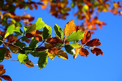 Fall Foliage, Leaves, Autumn, Fall Leaves