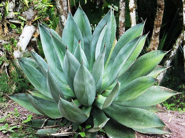 Giant Aloe Vera, Leaves, Fleshy Leaves, Exotic