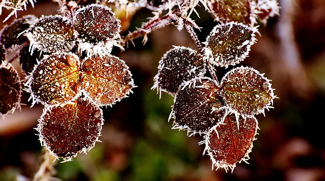 Leaves, Roses, Ripe, Frost, Nature, Plant, Jagged, Leaf