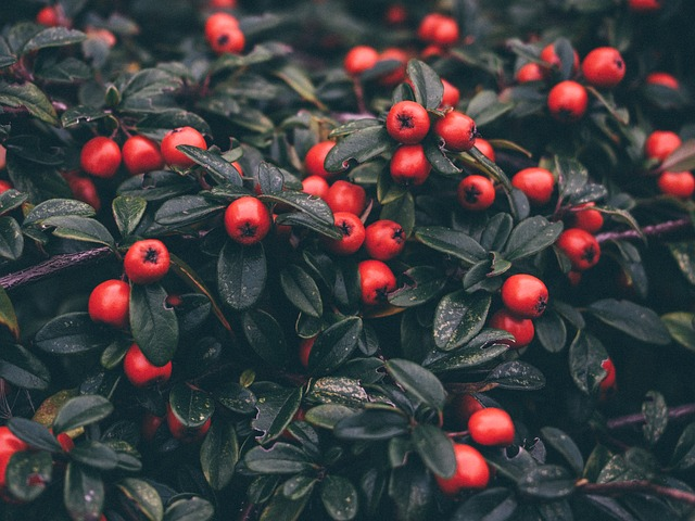 Cotoneaster, Plants, Leaves, Garden
