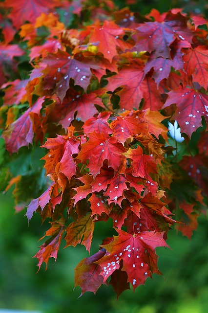 Maple, Tree, Red, Leaves, Nature, Autumn, Golden Autumn
