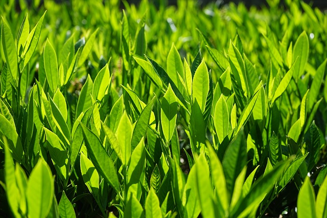 Prunus Laurocerasus, Bush, Leaves, Green, Back Light