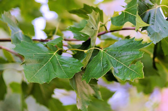 Leaves, Canopy, Chestnut Tree, Green, Branches
