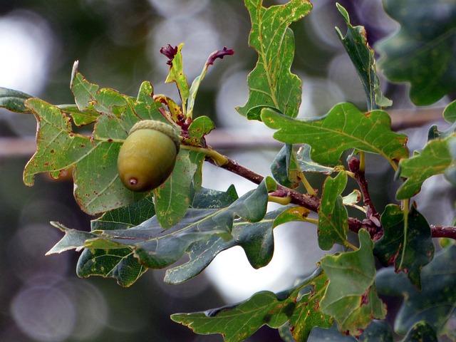 Forest, Oak, Tree, Acorns, Leaves, Nature, Green