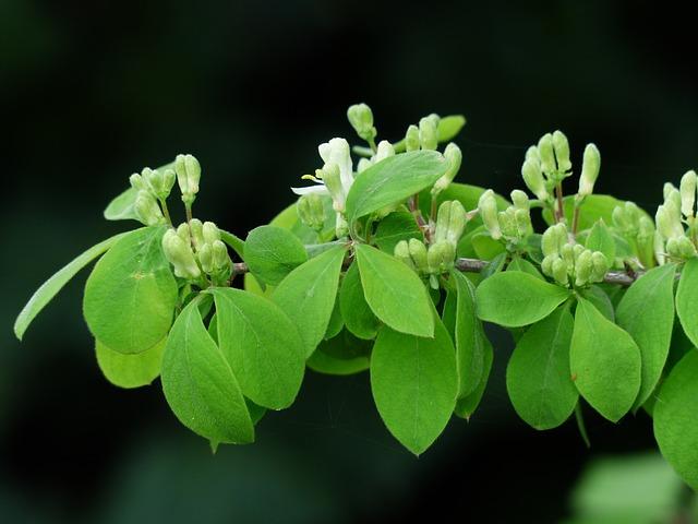 Lonicera Xylosteum, Honeysuckle, Bush, Leaves, Flowers