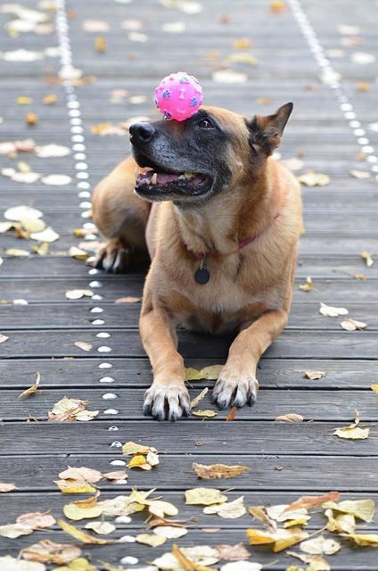 Malinois, Belgian Shepherd Dog, Leaves, Autumn
