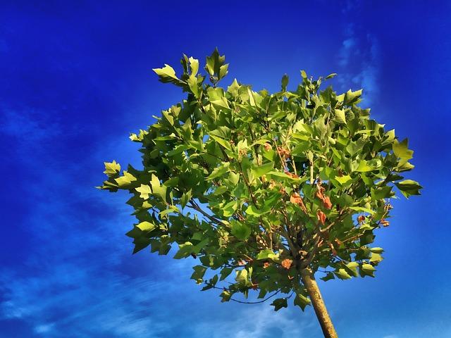 Tree, Maple, Blue, Leaves, Green, Summer