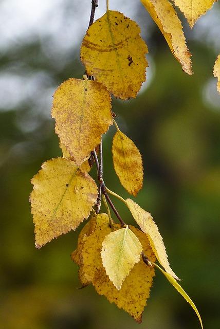 Foliage, Yellow, Leaves, Autumn, Fall, Nature, Birch
