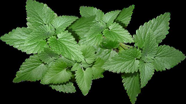 Leaves, Herb, Cat Nip, Plant, Garden