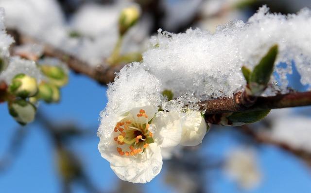 Plum Blossom, Plum Buds, Leaves, Flowering Stems