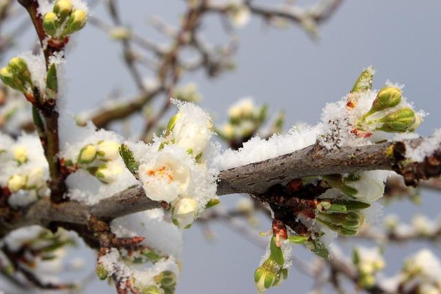 Plum Tree, Prunus Domestica, Plum Bud, Bud, Leaves