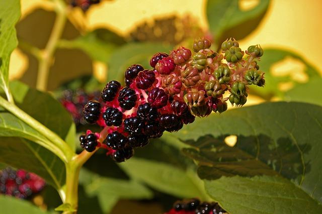 Pokeweed, Berries, Garden, Toxic, Bush, Green, Leaves