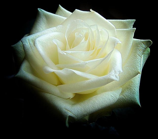 White Rose, Blossom, Bloom, Leaves, Rose Bloom, Nature