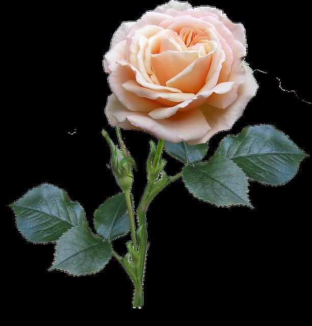 Rose, Stem, Leaves, Bud
