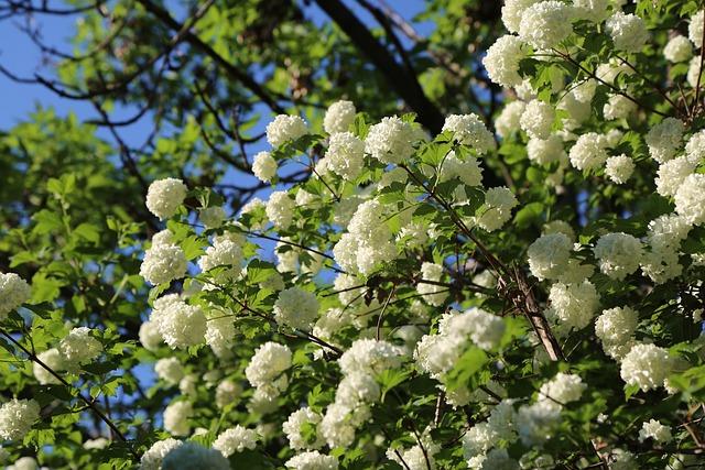 White Rose, Rose, Tree, Nature, Plant, Leaves