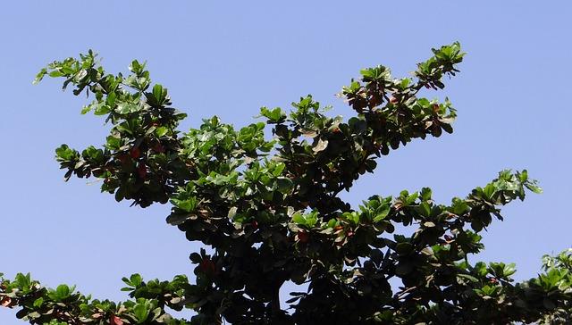 Tropical Almond, Leaves, Terminalia Catappa