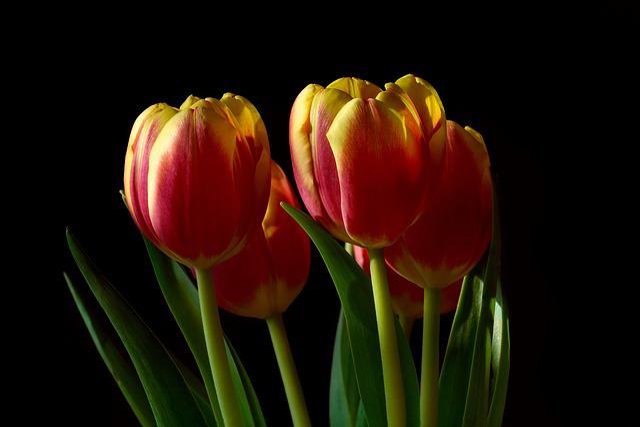 Tulip, Nature, Flower, Plant, Bright, Leaves, Garden