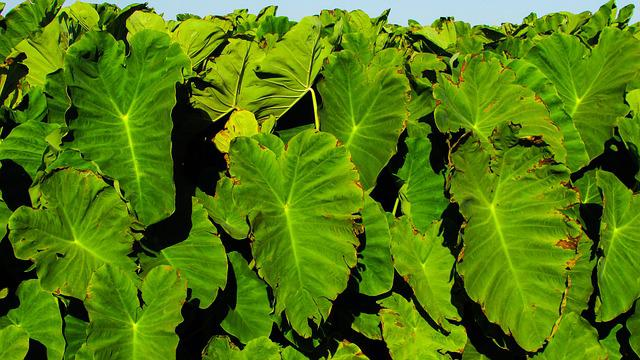 Taro, Leaves, Food, Traditional, Vegetable, Sotira