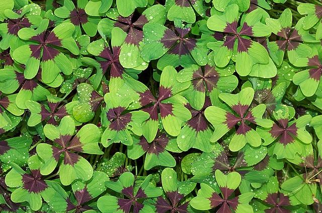 Clover, Leaves, Dew, Four Leaf Clover, Wet, Dewdrops