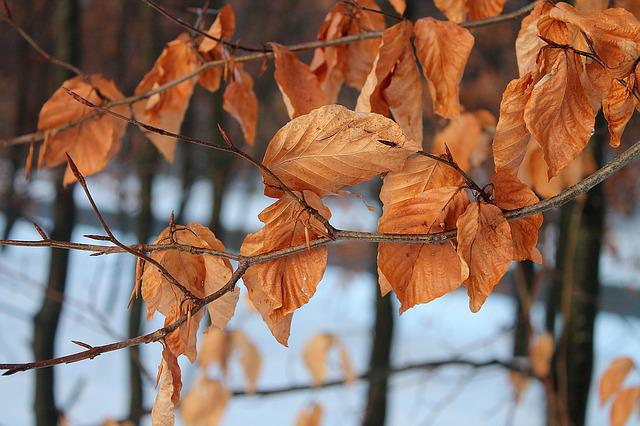 Leaves, Trees, Natural, Winter, Withered, Dead Leaves