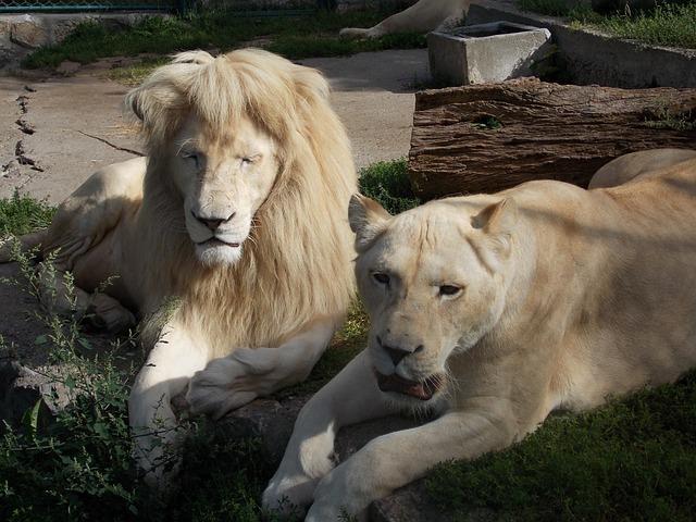 Witte Leeuw, Leeuw, Leeuwin, Dier, Dierentuin, Wild