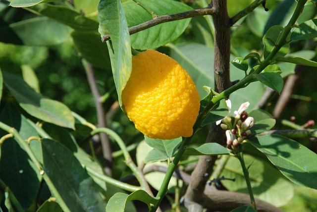 Lemon, Lemon Tree, Lemon Fruit