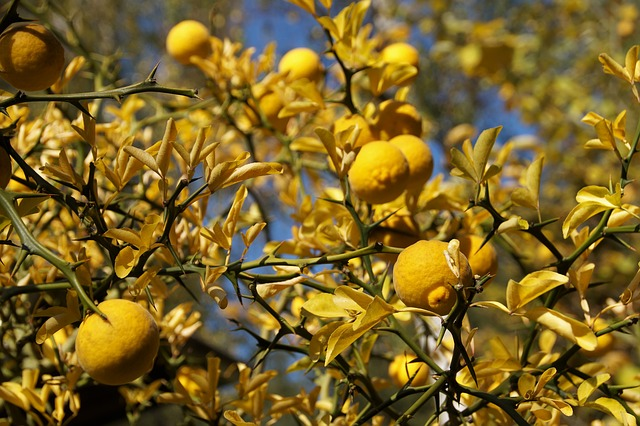 Lemon Tree, Citrusovník, Yellow, Autumn, Colored