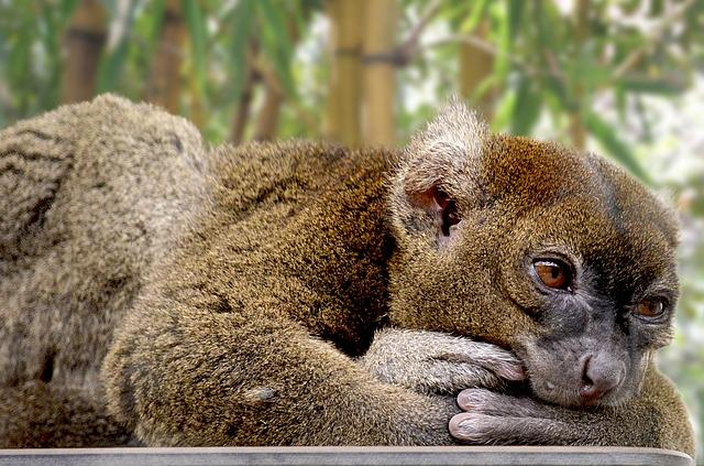 Bamboo Lemur, Lemur, Primates, Hapalemur, Ape