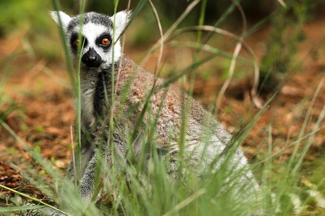 Ring-tailed Lemur, Lemur Catta, Duke Lemur Center