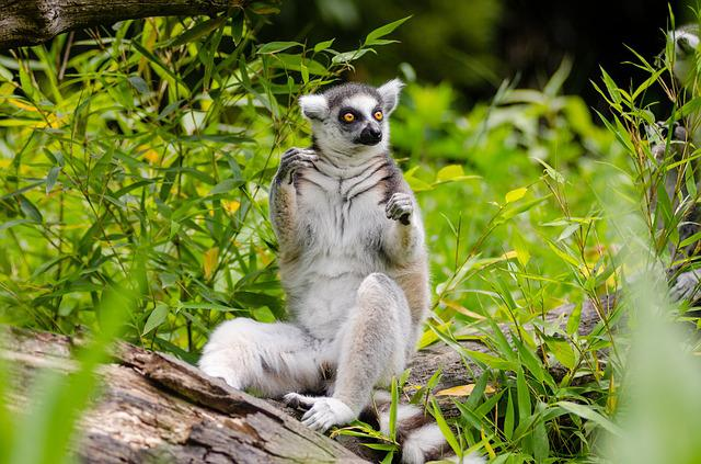 Animal, Cute, Fur, Grass, Leaves, Lemur, Mammal, Nature