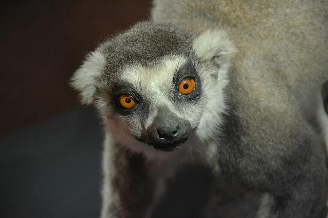 Lemur, Animal, Exhibit