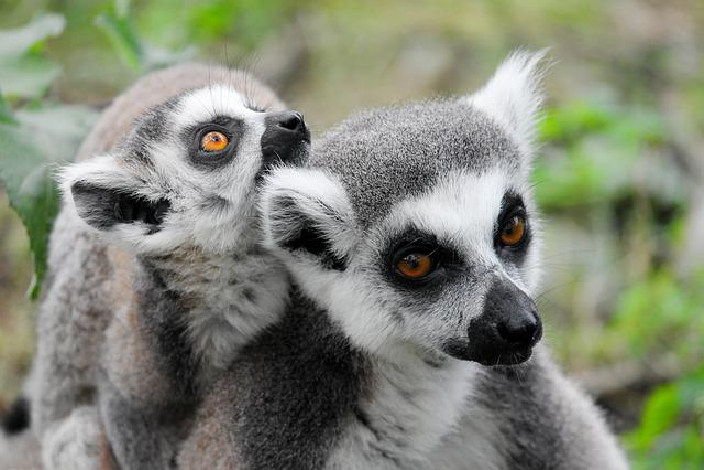 Makis, Lemur, Lemurs Monkeys, Dam, Young, Family