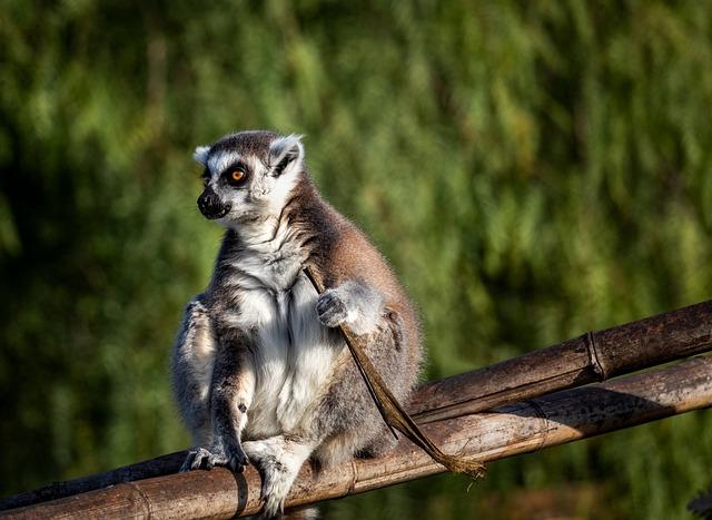 Lemur Catta, Lemurs, Madagascar, Monkey, Animal, Mammal