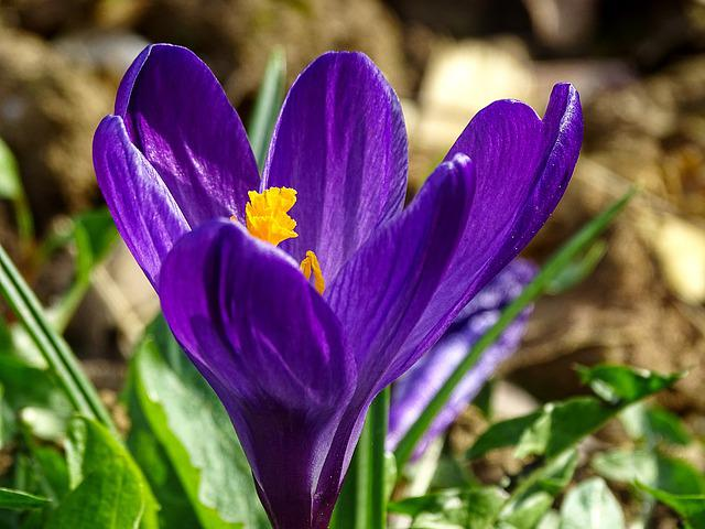 Crocus, Spring, Lenz, Early Bloomer, Violet, Yellow