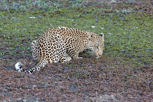 Leopard, Animal, Predator, Panthera Pardus, Big Cat