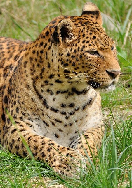 Leopard, Predator, Wildcat, Zoo, Animal, Wild, Nature