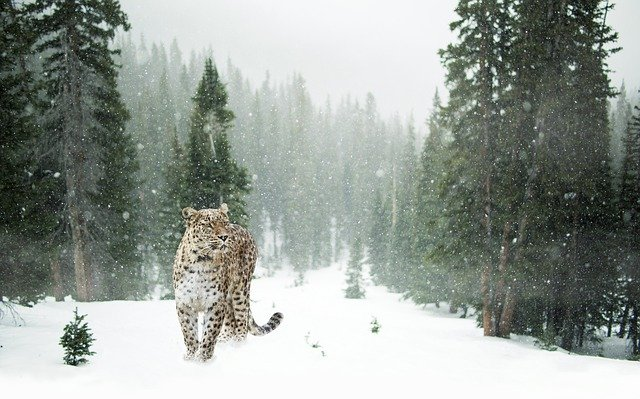 Leopard, Snow Leopard, Snow, Winter, Forest, Portrait