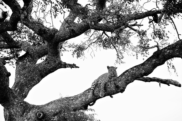 Leopard On Tree, Black White Recording, Attention