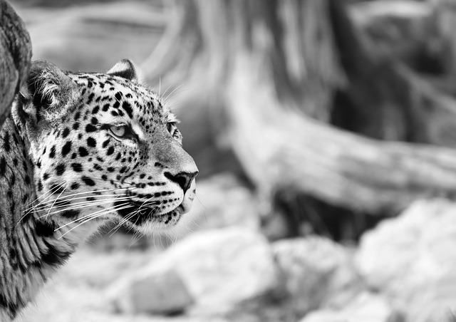 Leopard, Persian Leopard, Black And White