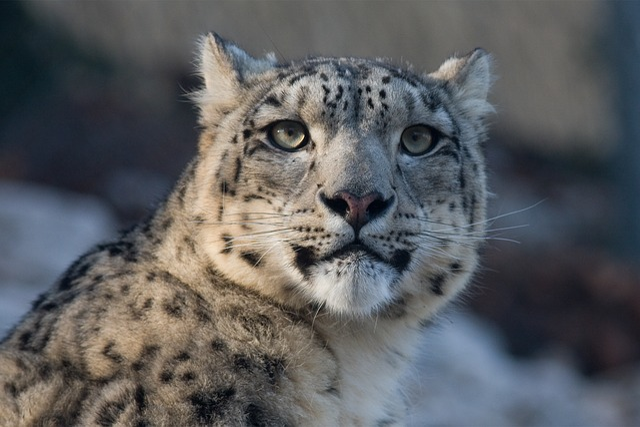 Snow Leopard, Leopard, Panthera Uncia, Cat, Zoo