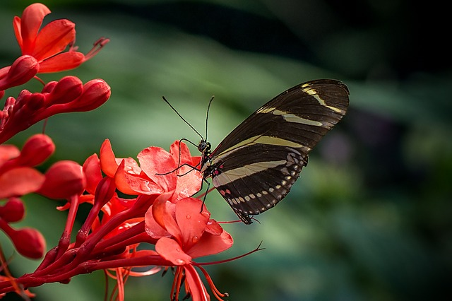 Butterfly, Zebra, Heliconius Charithonia, Lepidoptera