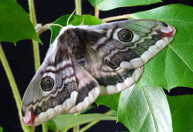 Moth, Nature, Insect, Macro, Wildlife, Lepidoptera